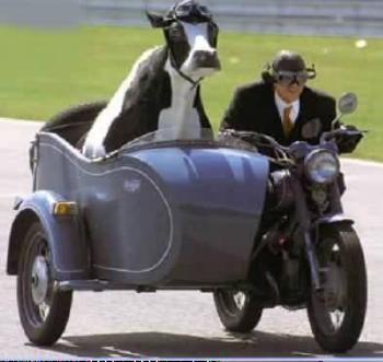 krowa_na_motocyklu