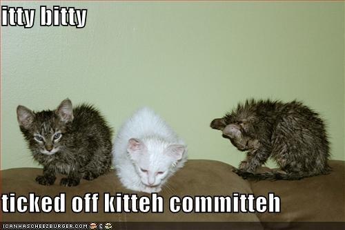 mokre i złe koty, lolcat, foto