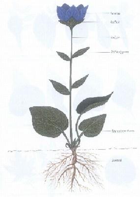 schemat rosliny, kwiat, rysunek
