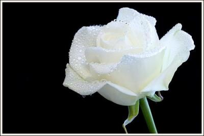 biała róża z kroplami wody, foto