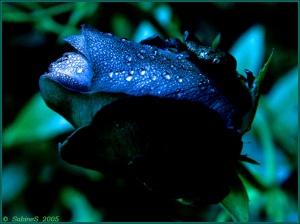 niebieska_roza