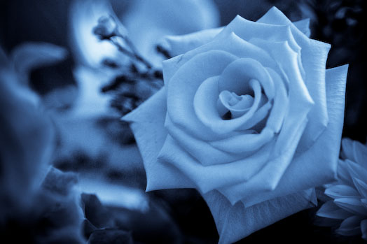 niebieska_róża