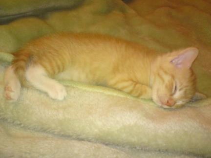 rudy kotek, bursztynek