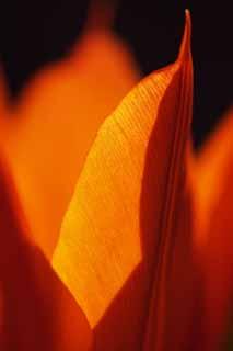 płatek tulipana, foto