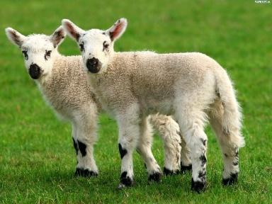 owieczki, foto