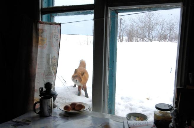 Lis na Kamczatce